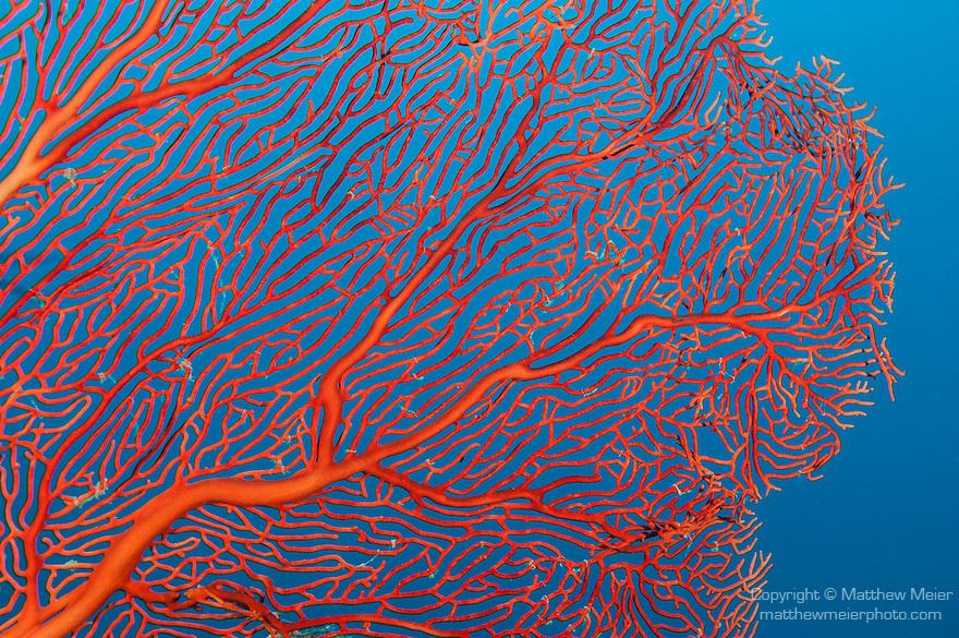 Bligh Waters, Vatu I Ra Passage, Fiji; pattern detail of a red sea fan against a blue water backgound