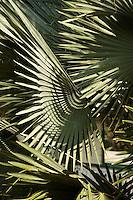 Palm leaves, Belize
