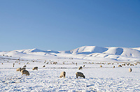Sheep graze in snow covered paddocks near Wedderburn with the Hawkduns seen behind them. Winter, Central Otago, South Island