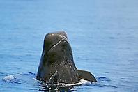 short-finned pilot whale, Globicephala macrorhynchus, spyhopping, Kona Coast, Big Island, Hawaii, USA, Pacific Ocean