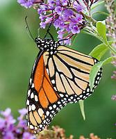 Monarch Butterfly hanging on purple butterfly bush.