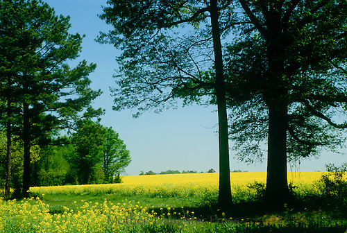 Field of blooming mustard and wildflowers: Soon there will be boxes of bee hives, Macon county GA