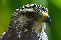 A Hawk in a backyard in Holly Hill, Florida, July 18, 2006.  (Photo by Brian Cleary/www.bcpix.com) Red-shouldered Hawk