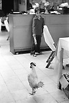 Mazatlan Mexico 1973. Restaurant chicken. Young boy waiter in family run restaurant is not sure if the cockerel is supposed to be walking around or in the cooking pot.