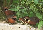 Rufous-fronted wood quail, Odontophorus erythrops. San Jorge de Milpe Eco-Lodge, Mindo, Ecuador