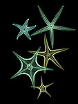 X-ray image of pointy sea stars (greens on black) by Jim Wehtje, specialist in x-ray art and design images.
