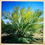 A palo verde tree in the riot of full bloom after winter rains in the Anza-Borrego Desert, California, USA.