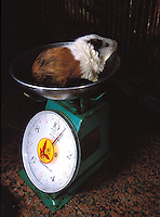 Guinea Pigs Food in China