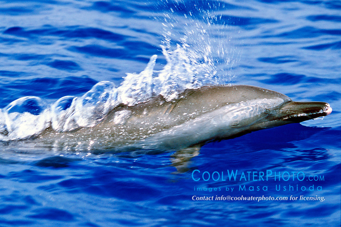pantropical spotted dolphin, .Stenella attenuata, spouting, .Big Island, Hawaii (Pacific).