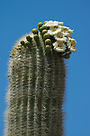 Blooming saguaro cactus, Carnegiea gigantea, Organ Pipe Cactus National Monument, Arizona.