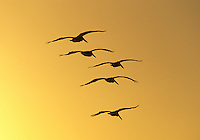 Brown Pelicans flying overhead at sunset