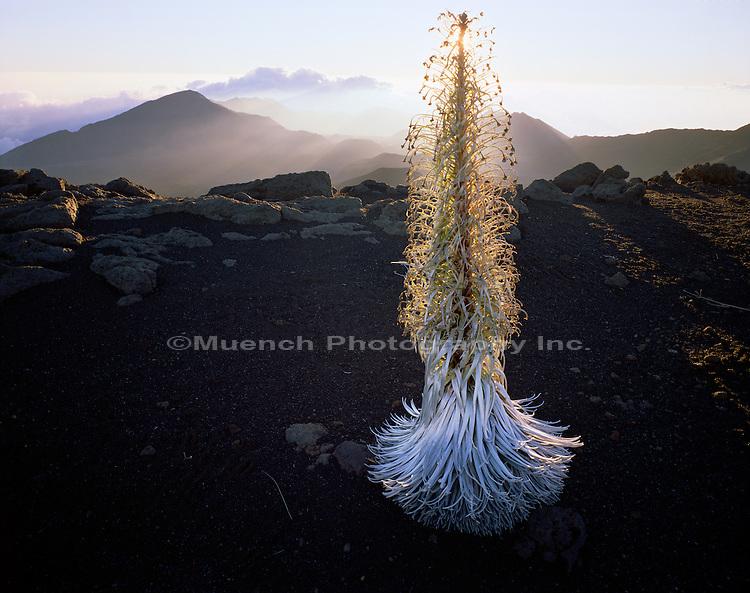 Silversword, Maui Haleakala National Park, HAWAII