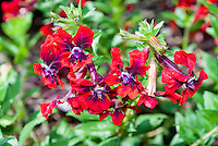Cuphea 'Flamenco Rumba' (llavea) in flowers, firecracker plant