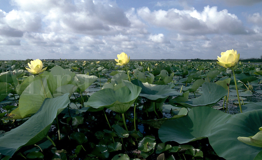 Swamp flowers growing on Lake Boeuf. Louisiana.