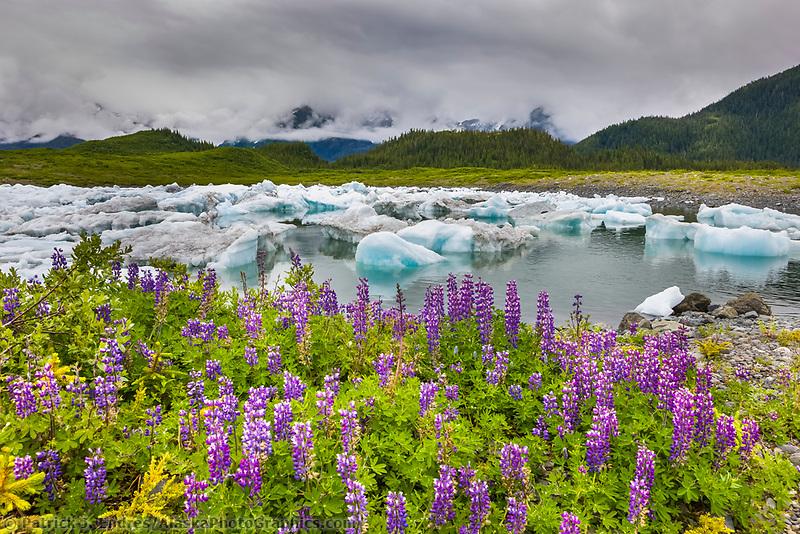 Columbia glacier icebergs, Lupine wildflowers, northern Prince William Sound, southcentral, Alaska.