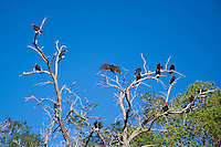 591260043 wild turkey vultures cathartes aura roost and preen in early morning in a dead tree in bishop inyo county california united states