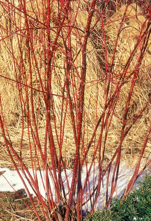 cornus alba argento marginata elegantissima winter stems plant flower stock photography. Black Bedroom Furniture Sets. Home Design Ideas