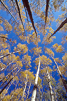 forest of primarily aspen trees (Populus tremuloides)