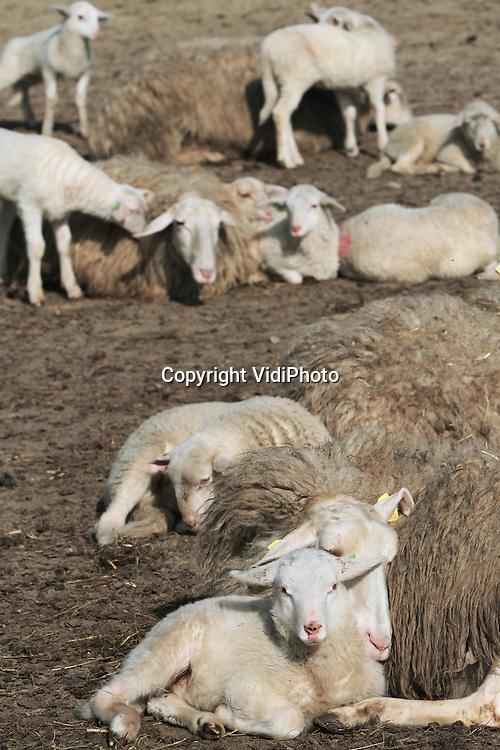 Foto: VidiPhoto..EDE - De kudde van schaapherder Henk van den Brandhof bij de schaapskooi op de Ginkelse hei bij Ede trekt donderdag op de eerste warme lentedag veel publiek. Bijna alle ooien hebben nu lammetjes. In totaal zijn er op dit moment 160 kerngezonde lammetjes geboren, waarmee de kudde verdubbeld is. Van het Schmallenbergvirus hebben de heideschapen geen last. Zodra alle ooien hun jong hebben, gaat de kudde weer de hei op..