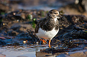 Ruddy Turnstone (Arenaria interpres) searching for little morsels amoungst the rock and seaweed at low tide in  Rye, East Sussex, UK. The Turnstone aptly named, it will flip stones of almost its own body weight has been recorded feeding on a very wide range of prey, including bird's eggs, chips and even corpses, in this case a crab shell.
