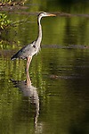 Ding Darling National Wildlife Refuge, Sanibel Island, Florida; a great blue heron standing in shallow water at the edge of the mangroves, looking for food, in early morning sunlight