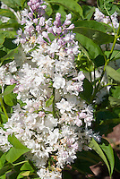 Syringa Beauty of Moscow Lilac in bloom aka Syringa vulgaris 'Krasavitsa Moskvy', white flushed double  flowers