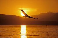 Bald Eagle (Haliaeetus leucocephalus) flying against sunset.  Pacific Northwest.  Summer.