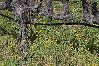 A grape vine at Robert Mondavi Vineyard in Oakville in Napa County in Northern California.