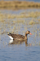 Greater white-fronted geese in tundra wetlands, arctic north slope, Alaska.