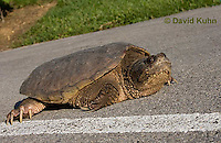 0611-0901  Snapping Turtle Crossing Paved Road, Chelydra serpentina  © David Kuhn/Dwight Kuhn Photography