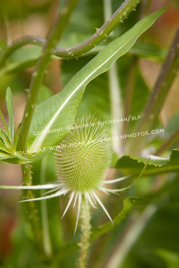 The prickly head and thorn-covered stem of a teasel plant provide an interesting textural element to the garden.