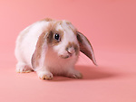 Cute little pet bunny rabbit isolated on pink background