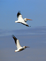 White Pelicans fly under a blue Florida sky in Merritt Island, FL. (Photo by Brian Cleary/ www.bcpix.com )