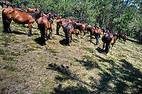 A herd of wild horses rounded up before the Rapa das Bestas (Shearing of the Beasts) festival in Torroña, Spain, 5 June 2011. The herds of of wild horses roam freely the hills of Galicia in the north-western Spain. Each year, in the beginning of summer, villagers herd horses down from the higher ground, rounding them up in the curro, a centuries-old stone arena. Here, ranchers catch the animals one by one and shear their manes and tails. Some of the young men, showing up their strength and courage, fight the untamed horses just with their bare hands. At the end of Rapa das Bestas, a 400-year-old Spanish tradition, the newborn foals are branded and all horses are released back into the wilderness.