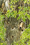 Northern flicker nestlings look out from their nest within a cottonwood tree in Grand Teton National Park, Wyoming.