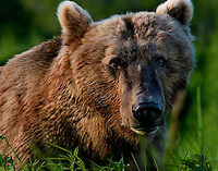 The Kodiak bear (Ursus arctos middendorffi), also known as the Kodiak brown bear or the Alaskan grizzly bear or American brown bear, occupies the coastal areas and islands of the Kodiak Archipelago in South-Western Alaska. It is the largest subspecies of brown bear. This is one of my very favorite bear pictures. Look into the eyes. There is neither malice or fear. Only a calculation or intelligent curiosity of what he is look at.<br /> Kukat Bay, Katmai National Park.