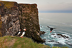 An Atlantic puffin (Fratercula arctica) dives off the L&aacute;trabjarg bird cliff in Iceland in search of food. Millions of birds, including Atlantic puffins, northern gannets, guillemots and razorbills, breed on the cliff in the summer. L&aacute;trabjarg is the western-most point in Europe and its largest bird cliff. It's 14 km (8.6 imles) long and as much as 440 meters (1,444) feet high.