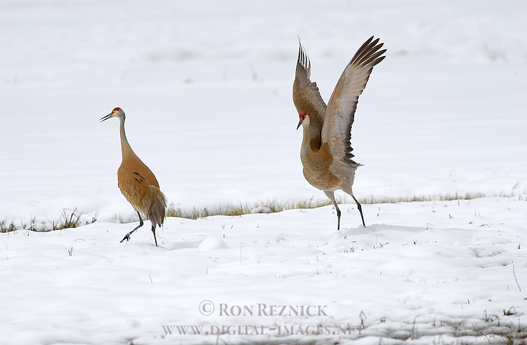 Sandhill Cranes Mating Dance Yellowstone National Park