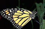 Monarch Butterfly (Danaus plexippus) lifecycle, metamorphosis orange pattern wings . .USA....