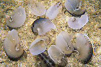 Occasionally found in large numbers on beaches, and in this case underwater, these  shells are actually egg cases, made by female Paper Nautilus, Argonauta hians. The tiny male Argonauts have no shell and die soon after mating, while females live in these delicate shells, which also serve as egg cases until  their brood hatches, after which the females die and the shells are abandoned.  Similan Islands, Thailand, Andaman Sea, Indian Ocean