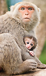 Formosan Macaque mother protects her baby, Monkey Mountain, Nan Hua, Tainan, Taiwan,  May 26th 2008