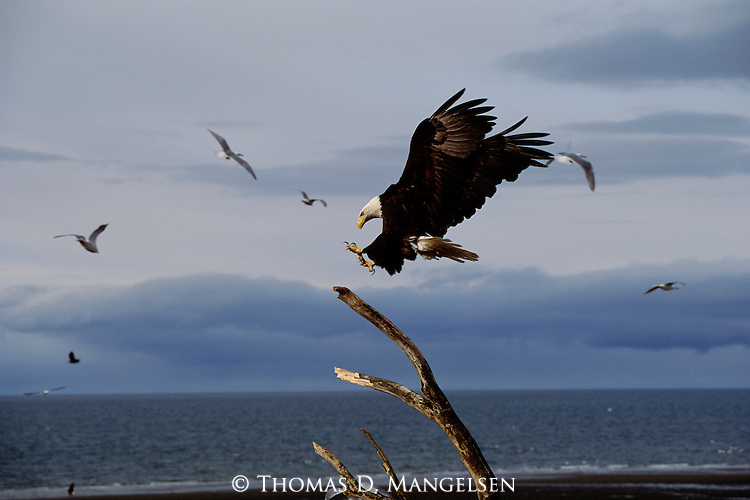 A bald eagle with feet extended lands on a driftwood branch in Southeast Alaska.