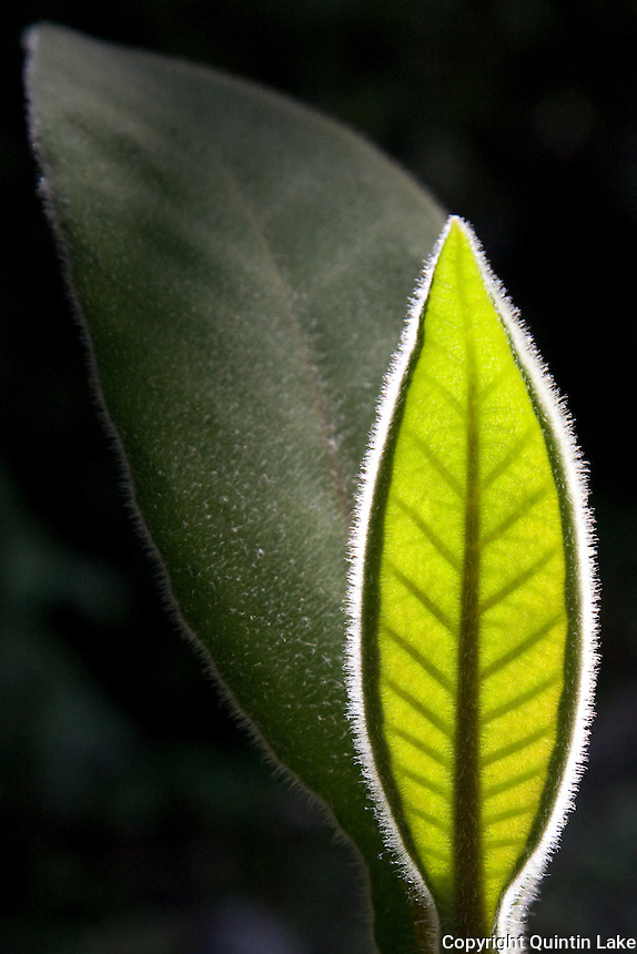 Light shines through a leaf at the edge of the cloud forest. Near Marcapata, Quispicanchi, Peru