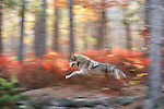 Gray wolf runs through fall foliage, Minnesota, USA