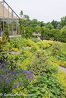 Alchemilla mollis lady's mantle ground cover in flower with stone path walkway, boxwood Buxus shrubs, greenhouse conservatory, Salvia blue flowers, landscaping