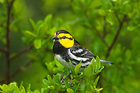 591850038 a wild federally endangered male golden-cheeked warbler setophaga chrysoparia - was dendroica chrysoparia - perches in a fir tree in the texas hill country texas united states