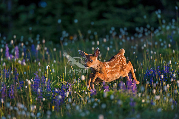Columbian black-tailed deer (Odocoileus hemionus columbianus) fawn bounding through subalpine meadow covered with wildflowers.  Early morning, Pacific Northwest.  Summer.