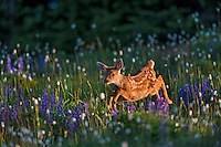 Columbian black-tailed deer (Odocoileus hemionus columbianus) fawn bounding through subalpine meadow covered with wildflowers.  Early morning, Pacific Northwest.  Summer.