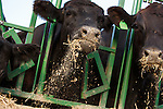 20150804 High Res Brand Angus Cattle