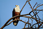 An African fish-eagle, Okavango River, Botswana